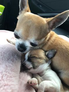 Effective Potty Training Chihuahua Consistency Is Key Ideas. Brilliant Potty Training Chihuahua Consistency Is Key Ideas. Teacup Chihuahua, Chihuahua Love, Chihuahua Puppies, Cute Puppies, Cute Dogs, Dogs And Puppies, Doggies, Baby Animals, Funny Animals