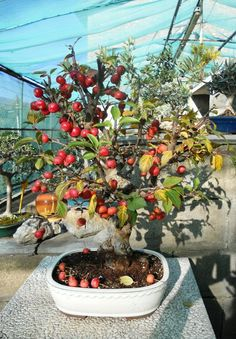 Bonsai Fruit Tree, Fruit Trees, Mini Plantas, Ikebana Arrangements, Nature Plants, Bonsai Garden, Small Trees, Cactus, Japanese Art