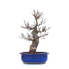 Acheter ce Superbe Bonsaï Acer Palmatum Arakawa 40 cm importé du Japon chez votre Spécialiste du Bonsai en Ligne, Sankaly Bonsaï