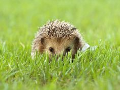 FACTS - Hedgehogs can be found in Europe, Asia, Africa and New Zealand, They can live in a wide range of habitats, including savannas, forests, deserts, scrublands and suburban gardens. Hedgehog homes are usually burrows and nests they build themselves. Hedgehog burrows can be up to 20 inches (50 cm) deep, nests are made from leaves, branches and other vegetation. Sometimes, hedgehogs take over burrows that other animals have left behind or nestle between rocks. - Pictures inside of pin