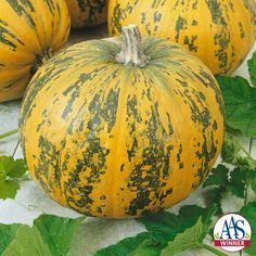 Pepitas Pumpkin - 2016 AAS Edible – Vegetable Winner - The newest All-America Selections award winning pumpkin, Pepitas, is a winner in both the decorative and culinary arenas.