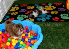 HavaHug Havanese Puppies, is a Michigan based Havanese breeder of quality Chocolate AKC Havanese Dogs. Non-shedding, Hypo-allergenic Puppies. Breeder of the Most Beautiful Chocolate Havanese! Havanese Breeders, Havanese Puppies For Sale, Havanese Dogs, Dogs And Puppies, Doggies, Dog Play Room, Puppy Room, Dog Rooms, Puppy Grooming