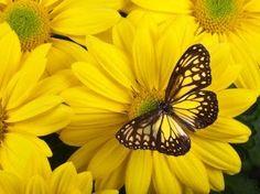 livrosecafe.com: Borboleta amarela