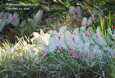 LOVE White Queen caladiums! Hoe and Shovel: Passion, Patience, and Practicality
