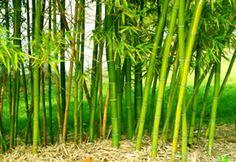 Bambus findet in Deutschland immer mehr Anhänger. Die Pflanze aus Asien ziert schon zahlreiche Gärten. Hier sind ein paar Tipps zur Pflege.