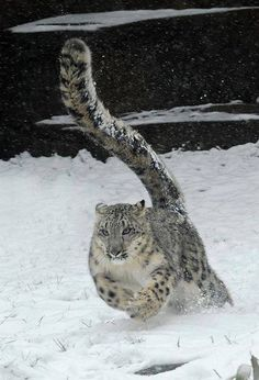 Snow Leopard - love their tail