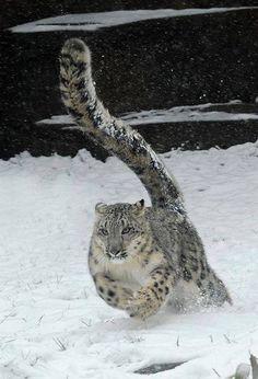 Snow Leopard - love their tail