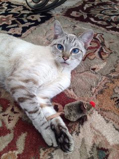 Lynx Point Siamese Simease Cats, Cute Cats And Kittens, I Love Cats, Crazy Cats, Cool Cats, Kittens Cutest, Cute Kitten Pics, Pedigree Cats, Russian Blue Kitten