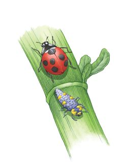 Ladybugs are not only good luck charms, they also feed on all sorts of garden pests including aphids, small caterpillars, insect eggs and even powdery mildew. Learn how to attract them to your organic garden for natural pest control.data-pin-do=