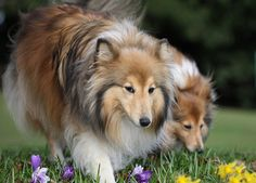 I want Shelties!