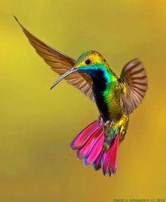 Tropical Birds Green-Breased Mango Hummingbird