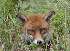 fox1 170