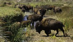 Ever encounter a herd of buffalo while hiking Catalina Island? What an adrenaline rush! Catalina Island California, Santa Catalina Island, Southern California, History Of Santa, Mid Century Modern Decor, Midcentury Modern, Staycation, Beautiful Places, Places To Visit