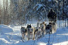 Nicolas Vanier et ses chiens de traîneaux.
