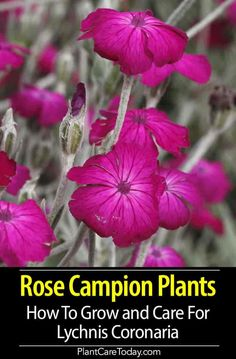 Rose Campion (Lychnis Coronaria) easy culture hardy upright stems grey-green leaves flowering on long stems colors white red pink crimson [CARE DETAILS] Shade Flowers, Leaf Flowers, Flower Pots, Potted Flowers, Wild Flowers, Rose Campion, Snake Plant Care, Hardy Plants, Tall Plants
