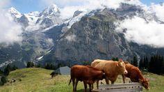 Lehmät hierovat usein tuttavuutta patikkareittien näköalapaikoilla.