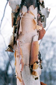 beautiful birch...