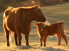Red Angus mom and calf, beef cattle