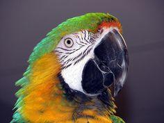 #papagalivorbitori #papagalivorbitoriromania #zambesteinfiecarezi