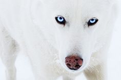 Arctic wolf with blue eyes