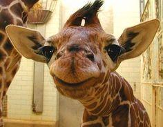 Baby Giraffe Is Pleased