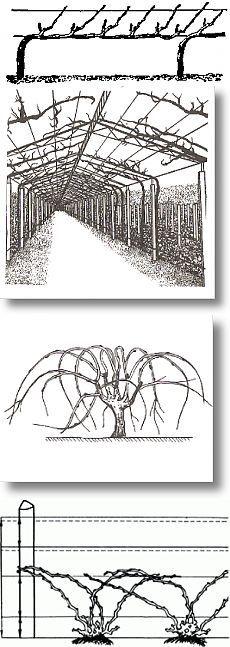 Формировка винограда. Виды формировок | ВИНОГРАДНИК.by
