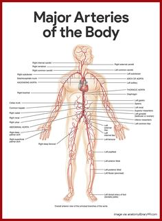 Major arteries of the body. Cardiovascular System Anatomy and Physiology Study Guide for Nurses: https://nurseslabs.com/cardiovascular-system-anatomy-physiology/