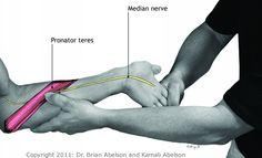 Pronator teres and median nerve