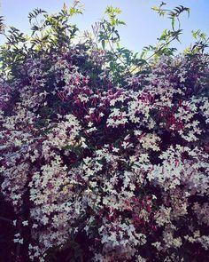 Así nos recibe el seto de casa que ha sido penetrado completamente por estas enredaderas. Ahora sí tu presencia denota primavera y buenas vibraciones. Ahora sí te has puesto una indumentaria que anima a quienes te ven y huelen. Ahora sí es tu momento de exhibirte y mostrar orgullo. Ibas de la mano de la hiedra ahora no.  Me dijeron que llegarían bendiciones y que mi hogar iba a plagarse de flores y no creí... pero ahora ahora sí. #sweethome #luz #flores #primavera #cambio #springbreak