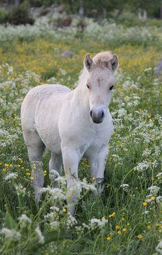 Hassle Kry - fjord stallion