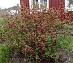 Ribes: p96, 5-7', spring