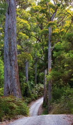 A road full of mystery, Black River, Styx Valley, Tasmania. World's TALLEST Hardwood Trees Brisbane, Melbourne, Tasmania Road Trip, Tasmania Travel, Cairns, Australia Country, Queensland Australia, Western Australia, Surf