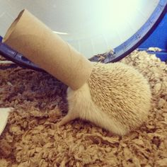 Hedgehog playing in toilet paper roll!