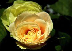 Beautiful Roses, Nature Photos, Flowers, Plants, Beauty, Color, Florals, Planters, Colour