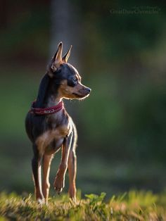Mini Pinscher, Russian Toy Terrier, Doggies, Dogs And Puppies, Animals And Pets, Cute Animals, Pets Movie, Min Pins, Carlin