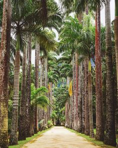 Avenida de palmeras imperiales en el Jardín Botánico de Río de Janeiro. 💰R$ 15 (R$ 7 si eres estudiante) ⚠️Usa repelente Instagram, Travel, Rio De Janeiro, Palm Trees, Garden Decorations, Entryway, Gardens, Student, Flowers