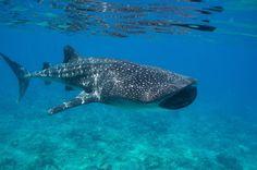 Tiburón Ballena en una reserva de las Maldivas. JAMES HANCOCK. Es el pez más grande del mundo con cerca de 12 metros de longitud y se cree que habita en la Tierra desde hace 60 millones de años. La iniciativa ha sido de los científicos del Programa de Investigación del Tiburón Ballena en las Maldivas (MWSRP), que con su estudio han descubierto que el tiburón ballena (Rhincodon typus) es la clave de la economía del paraíso turístico de las Maldivas