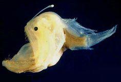 peixes-lanterna