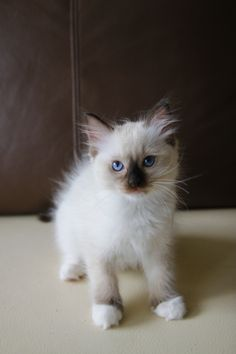 I'm a little kitty, please join us on FB: Maru the Cat, Ragdoll PL :) #ragdoll #kitten #cat #cute #maru