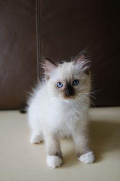 I'm a little kitty, please join us on FB: Maru the Cat, Ragdoll PL :) #ragdoll #kitten #cat #cute #maru