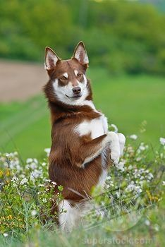 Lapponian Herder / Lapinporokoira / Lapp/Lapland Reindeer dog / Lapsk Vallhund