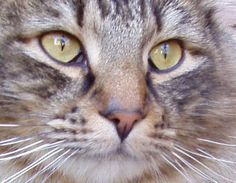 Gatto Norvegese delle Foreste, dettaglio.  #gatto #cats #norvegese