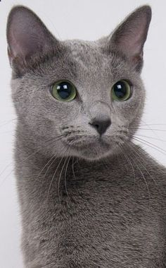 Portrait of a Russian Blue Cat ~ A very old natural breed common to the Russian town of Arkhangelski, Orig. known as the Archangel Cat | A very cat-like breed, w/ a lean, athletic form, exquisite face startling green eyes | They tend to choose when/how theyll interact w/ family, but when they choose you, they can be warm, sweet even kittenish | A somewhat reserved cat, they can be shy w/ strangers arent the best travelers.