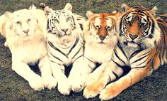 From Left to Right: Ghost Tiger, White Tiger, Tabby Tiger, Bengal Tiger.