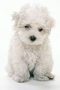 .Maltese are an amazing dog, known for being a big dog in a little body!!!