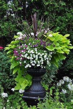 Black urn with Sweet Potato vine.../