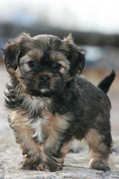 Looks like Abby when she was a puppy <3