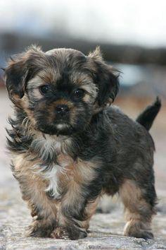 Shorkie puppy!!!