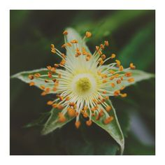 art prints - STAR FLOWER by Stacy Cooke