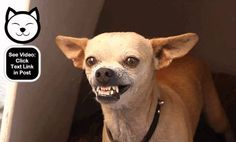 This is one scary dog!  http://www.dogvideooftheweek.com/videos/view/3567  #dvotw